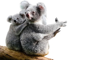 Koala wildlife party Melbourne