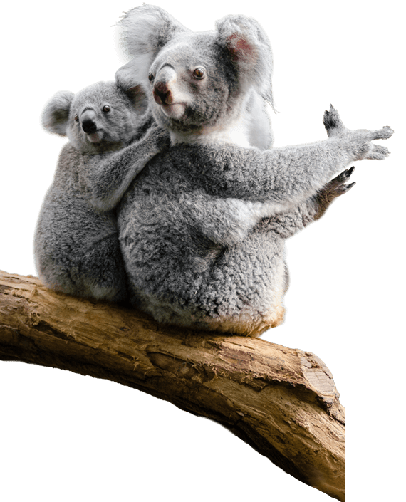 Meet a koala with our koala encounters in Melbourne.